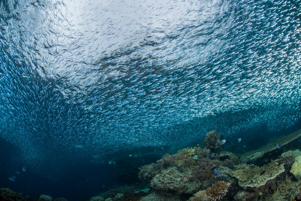 A large flattened out shoal of silversides (atheriniformes sp.)  passes over the reef as they move from one side of the island to the other,, parting for coral heads as clouds would part for mountain tops.  Raja Ampat, Indonesia.